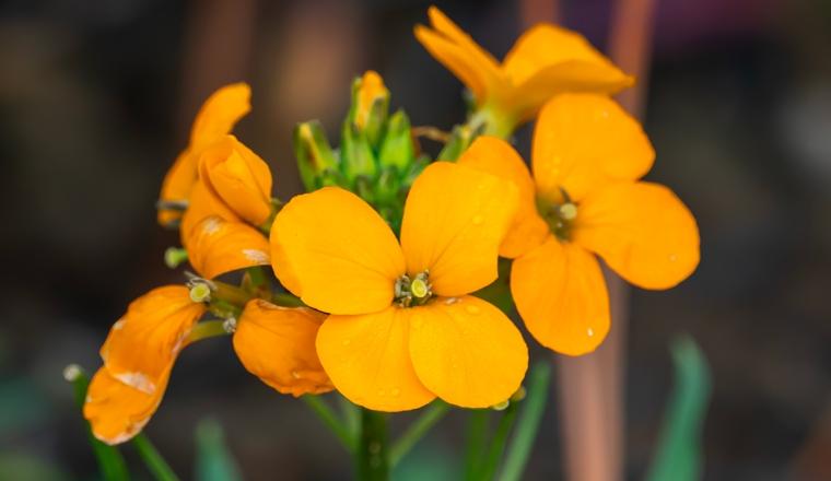 erysimum plantes et ingredients