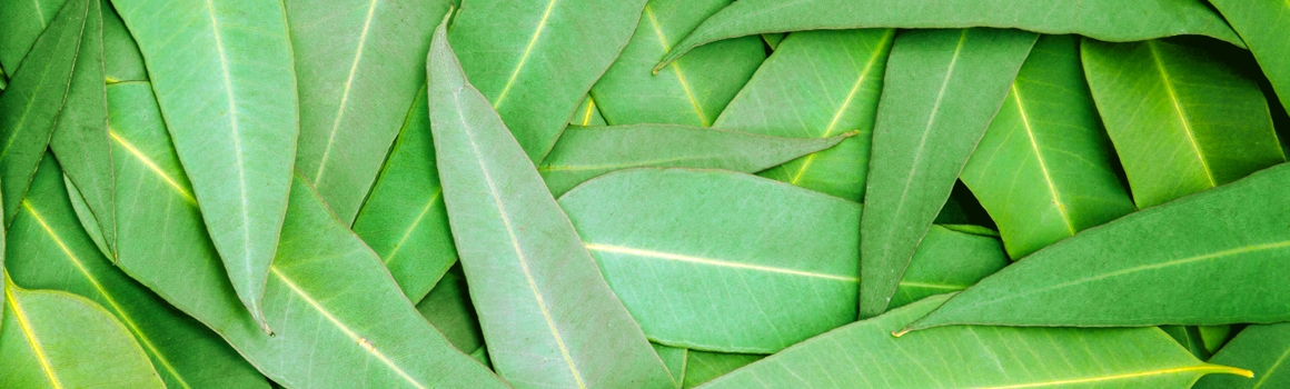 eucalyptus plantes et ingredients
