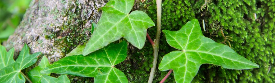 lierre plantes et ingredients